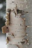 De boom van de berk Stock Foto