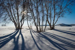 De boom van de berk stock foto's