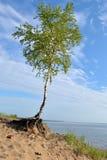 De boom van de berk stock afbeeldingen