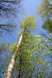 De boom van de berk Royalty-vrije Stock Afbeeldingen