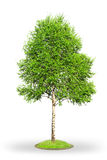 De boom van de berk die op wit wordt geïsoleerdz