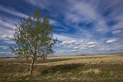 De boom van de berk en de bewolkte blauwe hemelen Stock Afbeelding