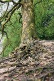De boom van de berk met dramatische wortels Royalty-vrije Stock Fotografie