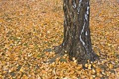 De Boom van de berk met gevallen bladeren Stock Afbeeldingen