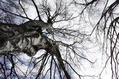 De boom van de berk van onderaan royalty-vrije stock foto's