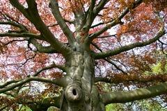 De boom van de beuk stock fotografie