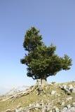 De boom van de beuk Royalty-vrije Stock Fotografie