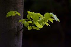 De boom van de beuk Stock Afbeelding