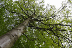 De boom van de beuk Stock Foto