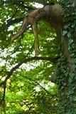 De boom van de beuk met klimop stock fotografie