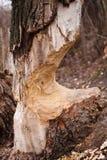 De boom van de bever Royalty-vrije Stock Afbeelding