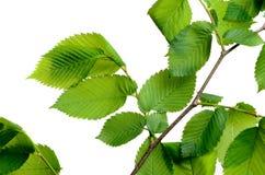 De boom van de bladiep in het bos Royalty-vrije Stock Foto