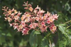 de boom van de bloemenkastanje Royalty-vrije Stock Foto's