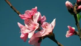 De boom van de bloemenkers. stock footage