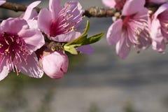 de boom van de bloemenstampers van de de lentenectarine het kleurrijke roze bloeien Stock Foto