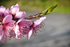 de boom van de bloemenstampers van de de lentenectarine het kleurrijke roze bloeien Royalty-vrije Stock Foto's