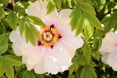 De boom van de bloempioen stock foto's