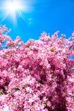 De boom van de bloesem Royalty-vrije Stock Foto