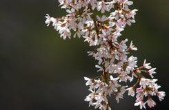 Bloesemboom Stock Afbeeldingen