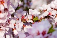 De boom van de bloesem stock afbeeldingen
