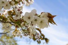 De boom van de bloesem Royalty-vrije Stock Foto's