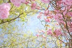 De boom van de bloesem en blauwe hemel Royalty-vrije Stock Afbeeldingen