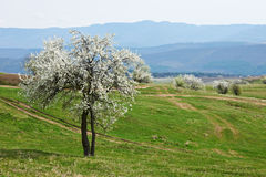 De boom van de bloesem in lentetijd Stock Afbeeldingen