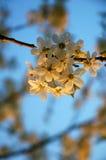 De boom van de bloesemkers Stock Foto