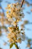De boom van de bloesemkers Stock Fotografie