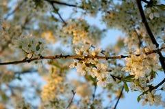 De boom van de bloesemkers Royalty-vrije Stock Fotografie