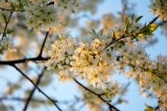 De boom van de bloesemkers Stock Afbeelding