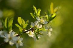 De boom van de bloesemkers in de lente Stock Afbeelding