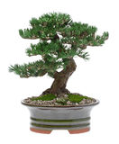 De Boom van de bonsai Royalty-vrije Stock Foto