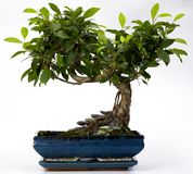 De Boom van de bonsai Stock Foto