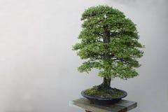 De boom van de bonsai stock foto