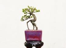De boom van de bonsai Stock Afbeeldingen