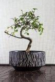 De boom van de bonsai stock foto's