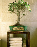 De boom van de bonsai in badkamers Stock Foto