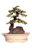 De boom van de bonsai die op witte achtergrond wordt geïsoleerd Stock Fotografie