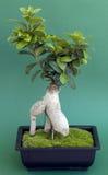 De boom van de bonsai met mos Stock Afbeelding
