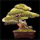 De boom van de bonsai op een zwarte achtergrond Royalty-vrije Stock Foto
