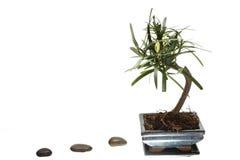 De boom van de bonsai op witte achtergrond Stock Foto