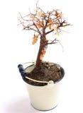 De boom van de Bonsai van de dood Royalty-vrije Stock Fotografie