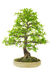 De Boom van de Bonsai van de iep Royalty-vrije Stock Foto