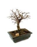 De boom van de bonsai zonder doorbladert Royalty-vrije Stock Afbeelding