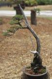 De boom van de bonsaipijnboom Stock Afbeeldingen