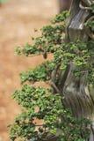 De boom van de bonsaipijnboom Royalty-vrije Stock Afbeelding