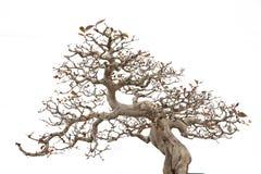 De boom van de bonsaipijnboom Royalty-vrije Stock Foto