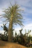 De Boom van de cactus en cactus. Stock Foto's