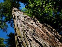 De Boom van de Californische sequoia Stock Afbeelding